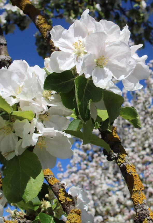 Die Apfelblüte in voller Pracht