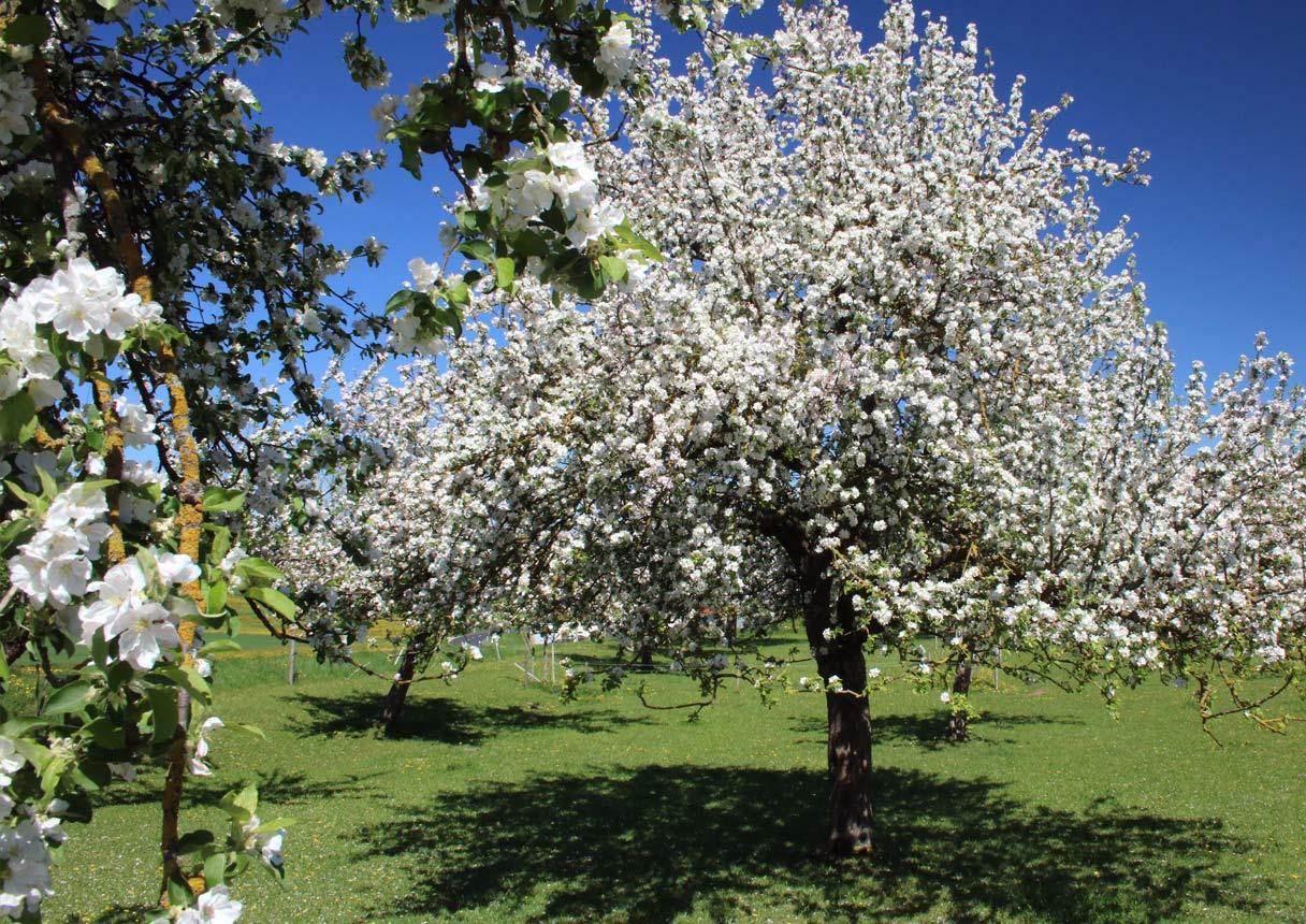 Die Apfelblüte in voller Pracht. Foto: Bertram Sturm